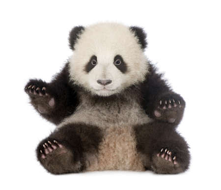 bear cub: Giant Panda  (6 months)  - Ailuropoda melanoleuca in front of a white background