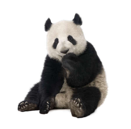 18: Giant Panda  (18 months)  - Ailuropoda melanoleuca in front of a white background