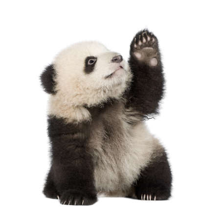 reaching up: Giant Panda  (6 months)  - Ailuropoda melanoleuca in front of a white background