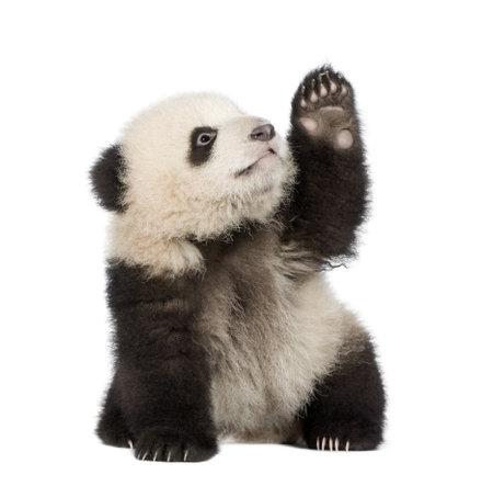 oso negro: Panda gigante (6 meses) - Ailuropoda melanoleuca delante de un fondo blanco Foto de archivo
