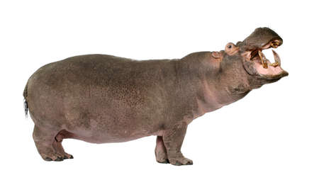 Hippopotamus - Hippopotamus amphibius ( 30 years) in front of a white background photo