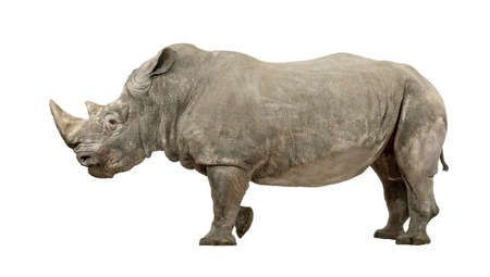White Rhinoceros or Square-lipped rhinoceros - Ceratotherium simum ( +/- 10 years) in front of a white background Stock Photo - 4568487