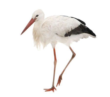 ciconiiformes: White Stork - Ciconia ciconia (18 months) in front of a white background