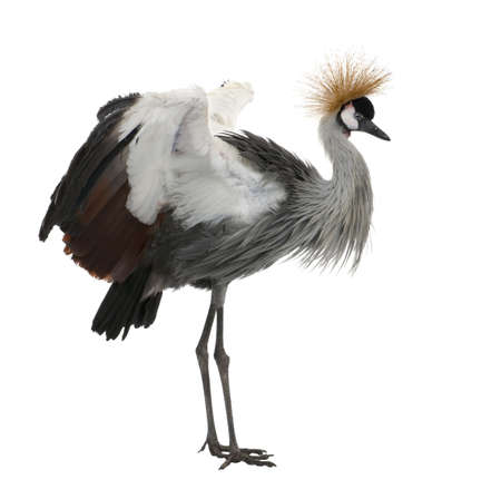 vertebrate: Grey Crowned Crane - Balearica regulorum (18 months) in front of a white background Stock Photo