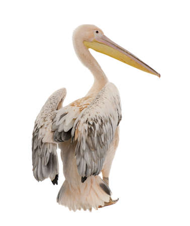 pelecanus: White Pelican -  Pelecanus onocrotalus (18 months) in front of a white background