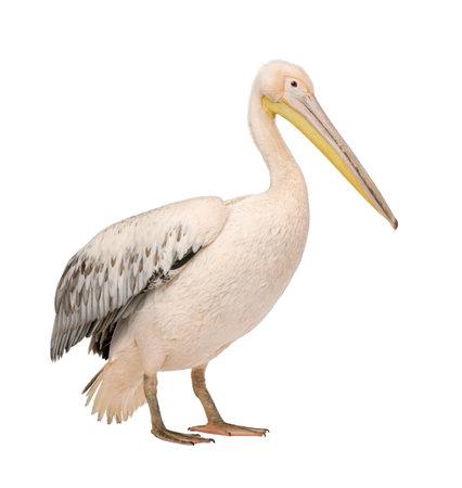 흰색 펠리컨 -Pelecanus onocrotalus (18 개월) 흰색 배경 앞에