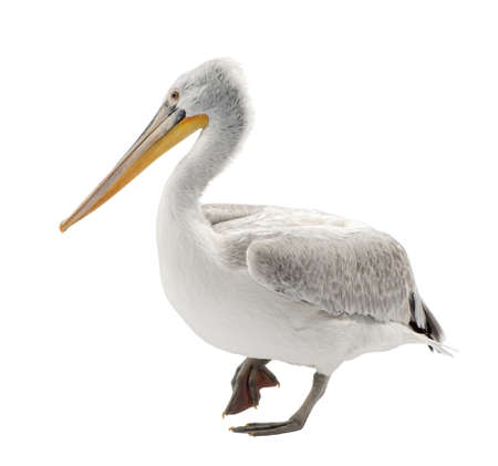 Pelican: Dalmatian Pelican - Pelecanus crispus(18 months) in front of a white background Stock Photo
