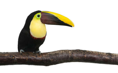 Chestnut-mandibled Toucan or Swainson�s Toucan - Ramphastos swainsonii (3 years)  in front of a white background photo