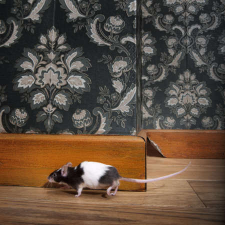 mouse walking in a luxury old-fashioned roon, We can see her hole in the background photo