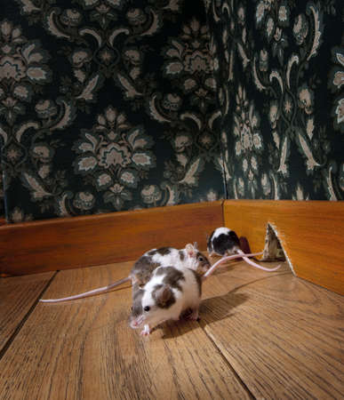 luxe: grouf of mice walking in a luxury old-fashioned room, We can see her hole in the background Stock Photo