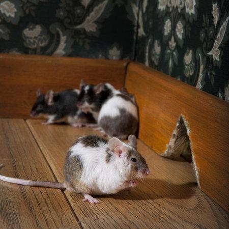 mice: grouf de ratones caminar en un lujo anticuado sala, podemos ver a su agujero en el fondo Foto de archivo