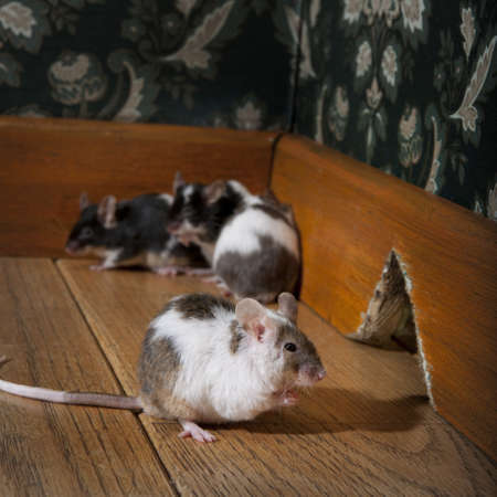 grouf of mice walking in a luxury old-fashioned room, We can see her hole in the background photo