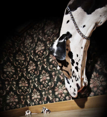 interrior: Great dane looking at a mouse coming out of her hole Stock Photo