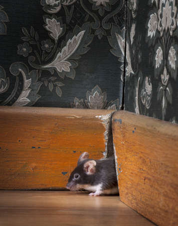 mouse getting out ot her hole in a luxury old-fashioned roon photo