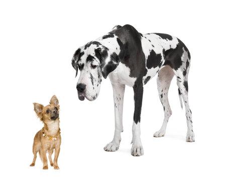 desigualdad: gran dan�s arlequ�n (4 a�os) mirando hacia abajo en un peque�o chihuahua (18 meses) delante de un fondo blanco