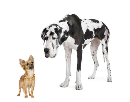 great dane harlequin: harlequin Great Dane (4 years)  looking down at a small chihuahua (18 months) in front of a white background
