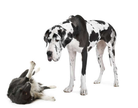 harlequin Great Dane (4 years)  looking down at a  in front of a white background