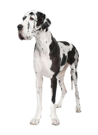 Great Dane (4 years old) in front of white background Stock Photo