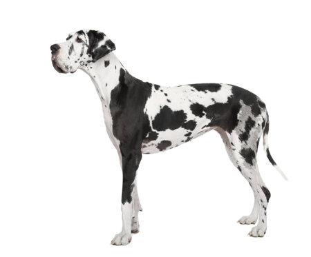 dalmatier: Harlekijn Dog (vier jaar) voor een witte achtergrond  Stockfoto