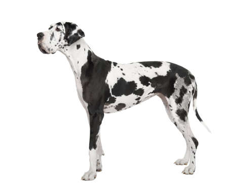 deutsche dogge: harlequin Great Dane (4 years) in front of a white background
