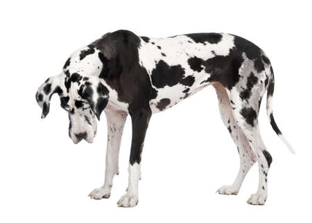 harlequin Great Dane (4 years) in front of a white background photo