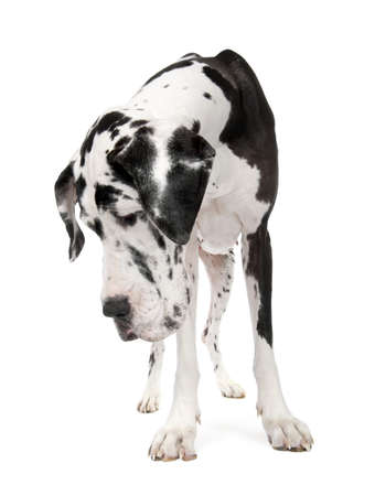 Great Dane (4 years old) in front of white background photo