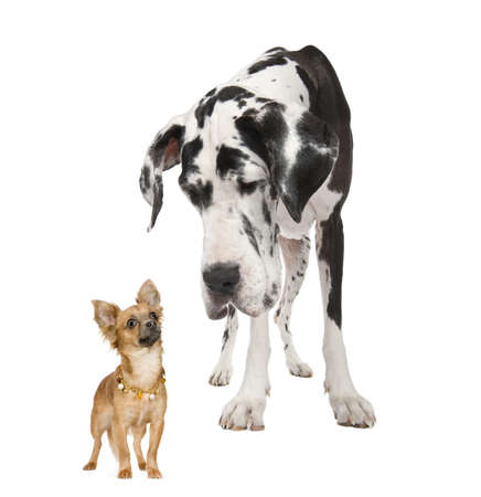 harlequin Great Dane (4 years)  looking down at a small chihuahua (18 months) in front of a white background photo