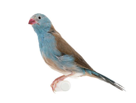 Blue-breasted Cordon-bleu - Uraeginthus angolensis in front of a white background photo