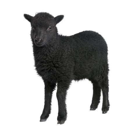 sheep farm: Young Ouessant ram (1 month old) in front of a white background