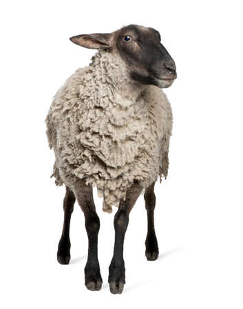 sheep farm: Suffolk sheep - (6 years old) in front of a white background Stock Photo
