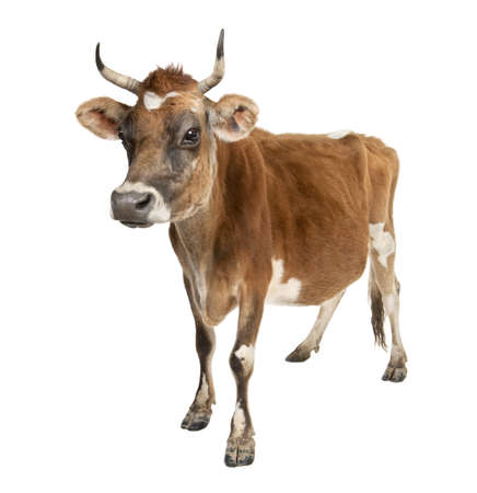 hoofed: Jersey cow (10 years old) in front of a white background