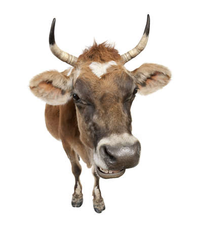 jersey cow: Jersey cow (10 years old) in front of a white background