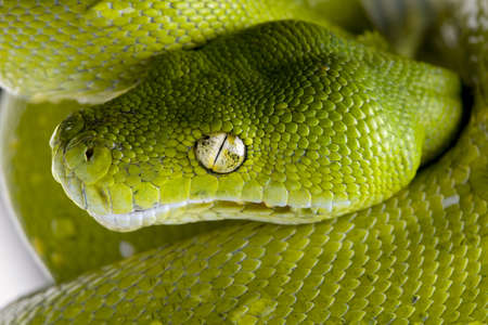 snake head: green tree python - Morelia viridis (5 years old) in front of a white background