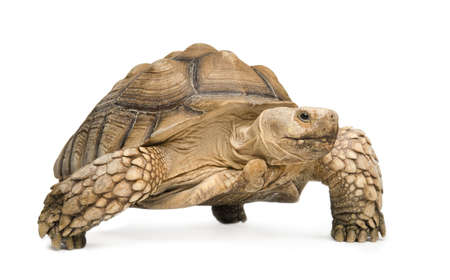 African Spurred Tortoise also know as  African Spur Thigh Tortoise  - Geochelone sulcata in front of a white background Stock Photo