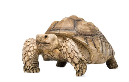 aquatic reptile: African Spurred Tortoise also know as  African Spur Thigh Tortoise  - Geochelone sulcata in front of a white background Stock Photo