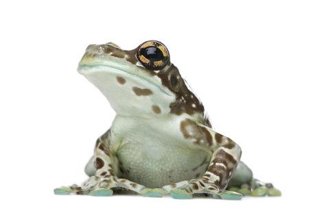 grenouille: Amazon Milk Frog - Trachycephalus resinifictrix devant un fond blanc