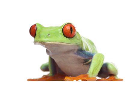 callidryas: Red-eyed Tree Frog - Agalychnis callidryas  in front of a white background