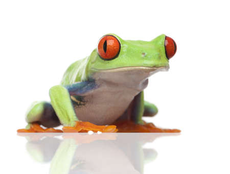 redeyed tree frog: Red-eyed Tree Frog - Agalychnis callidryas  in front of a white background