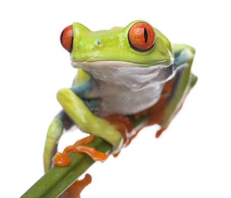 agalychnis: Red-eyed Tree Frog - Agalychnis callidryas  in front of a white background