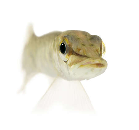 Young Northern pike - Esox lucius (1 years) in front of a white background photo