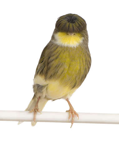 serine: Gloster Corona Canary - Serinus canaria on its perch in front of a white background Stock Photo