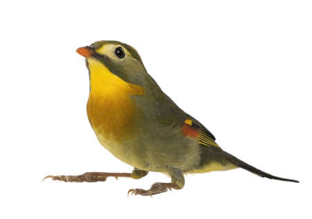 Red-billed Leiothrix - Leiothrix lutea in front of a white background photo