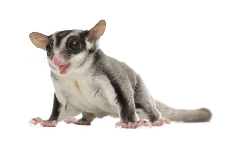 rodent: sugar glider - Petaurus breviceps (3 years old) in front of a white background