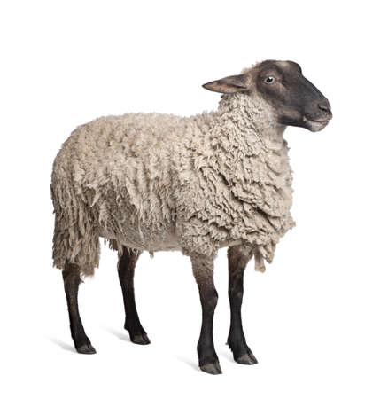 Suffolk sheep - (6 years old) in front of a white background Stock Photo