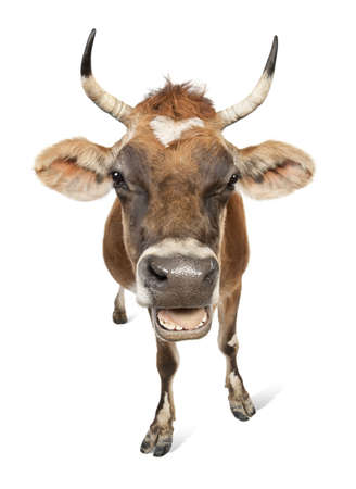 Jersey cow (10 years old) in front of a white background Stock Photo - 4712864