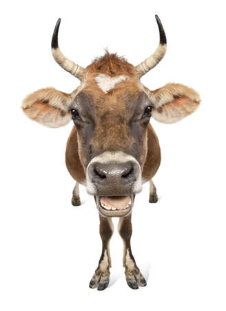 Jersey cow (10 years old) in front of a white background Stock Photo - 4712869