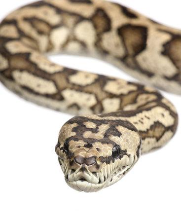 carpet python - Morelia spilota variegata in front of a white background photo