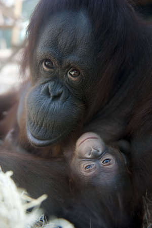mother Orangutan and her newborn baby 1 months - Pongo pygmaeus photo