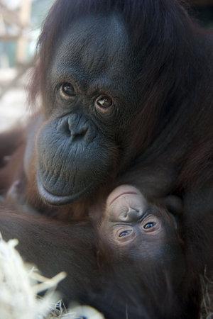 orangutang: mother Orangutan and her newborn baby 1 months - Pongo pygmaeus