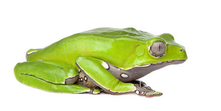 Giant leaf frog - Phyllomedusa bicolor in front of a white background photo